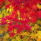 Scarlet and gold autumn maple leaves by rvjames