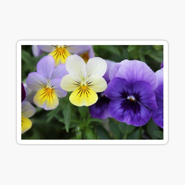 Italian Garden - Purple & Yellow Pansy Sticker