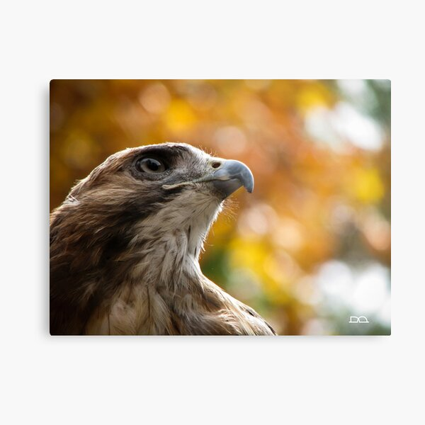 Bailey the Red-tailed Hawk Metal Print
