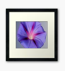 Close Up of A Morning Glory Purple and Pink Flower Framed Print