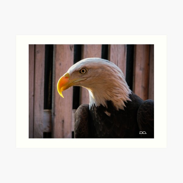 Piper the Bald Eagle Art Print