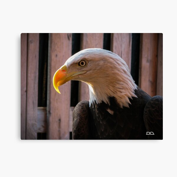 Piper the Bald Eagle Canvas Print