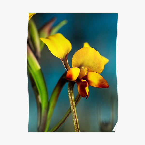 Winter Donkey Orchid Poster