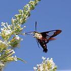 Hummingbird Moth by Sheryl Hopkins