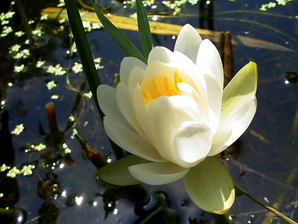 Sparkling White Waterlily  by ienemien