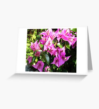 Purple Pink Bougainvillea In Blossom  Greeting Card