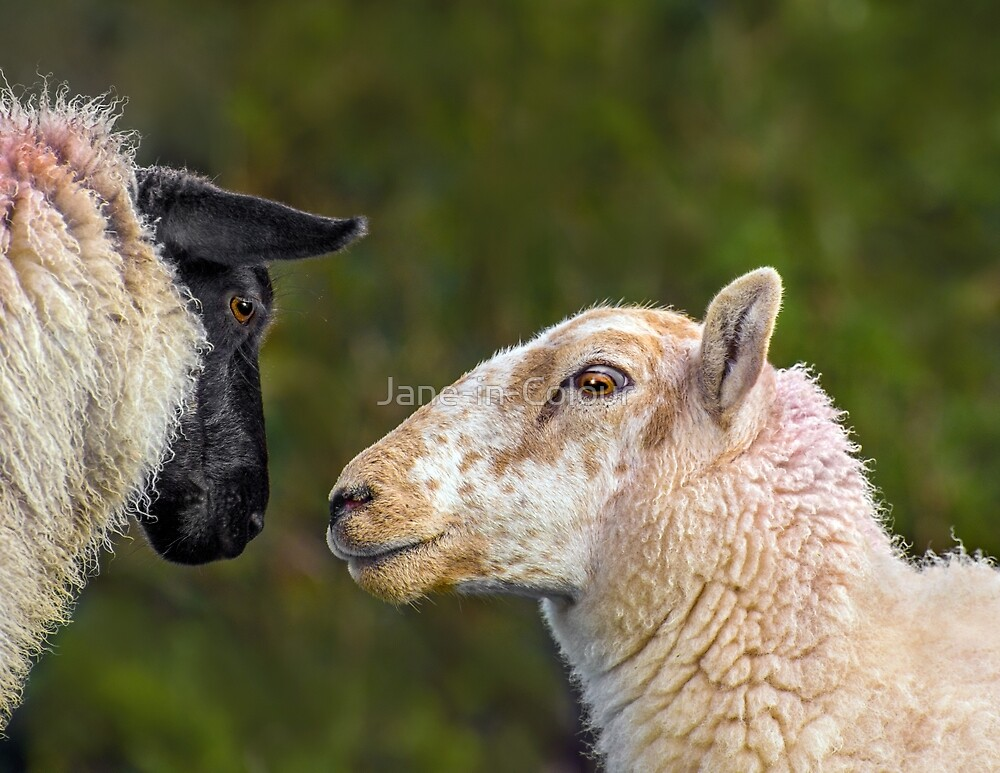 Sheep Love by Jane-in-Colour
