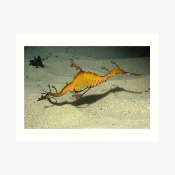Weedy Seadragon, Cape Solander Art Print