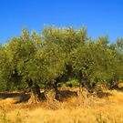 Olives Trees by jean-louis bouzou