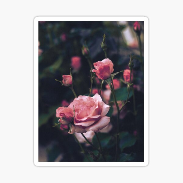Roses ii Sticker