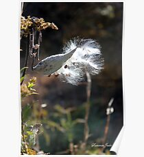 Milkweed Pod Explosion ~ Nature Poster