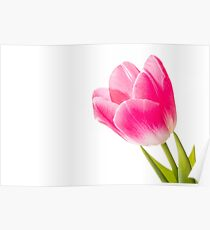 Red Tulip on White Background Poster