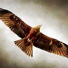 Black Kite by Paul-M-W