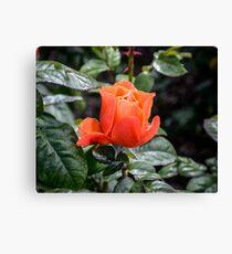 Rose Fellowship bud Canvas Print