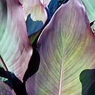 Canna Leaves by Bine