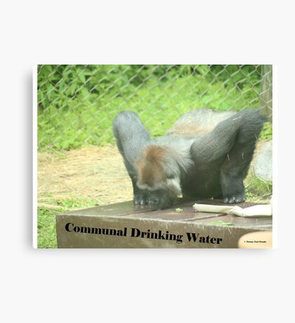 Communal Drinking Water Canvas Print