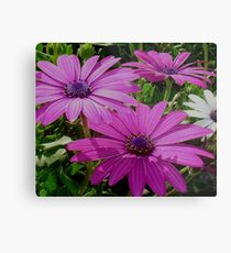 Purple And Pink Tropical Daisy Flower Metal Print