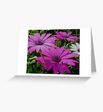 Purple And Pink Tropical Daisy Flower Greeting Card