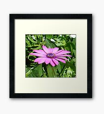 Purple Osteospermum Against Green Leaves Framed Print