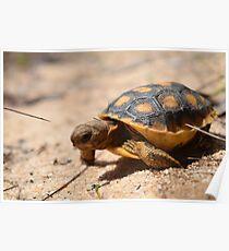 Baby Gopher Tortoise  Poster