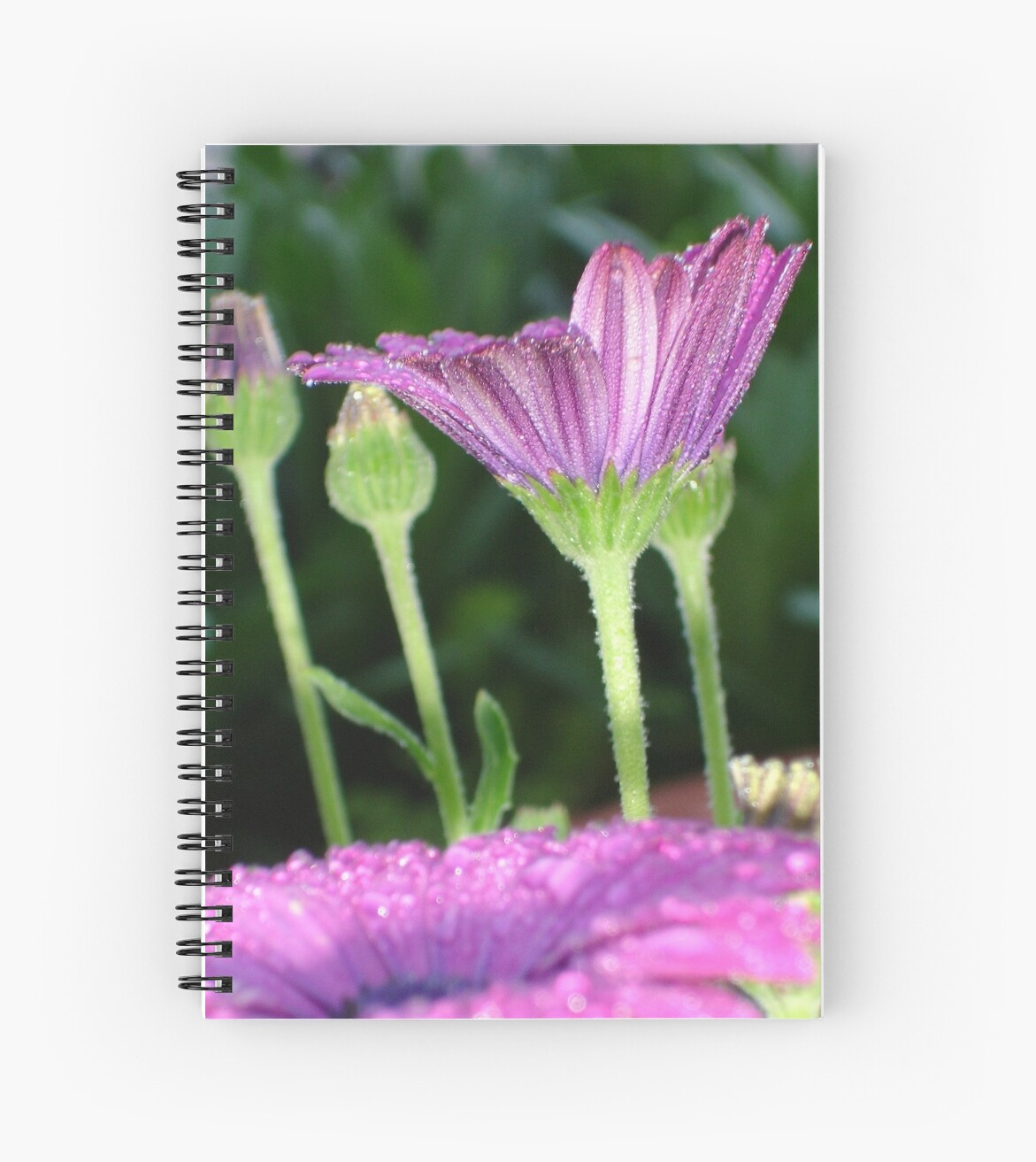 Purple And Pink Daisy Flower in Full Bloom by taiche