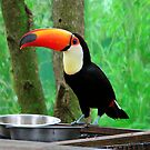 Toucan at the Feeding Station by Rosalie Scanlon