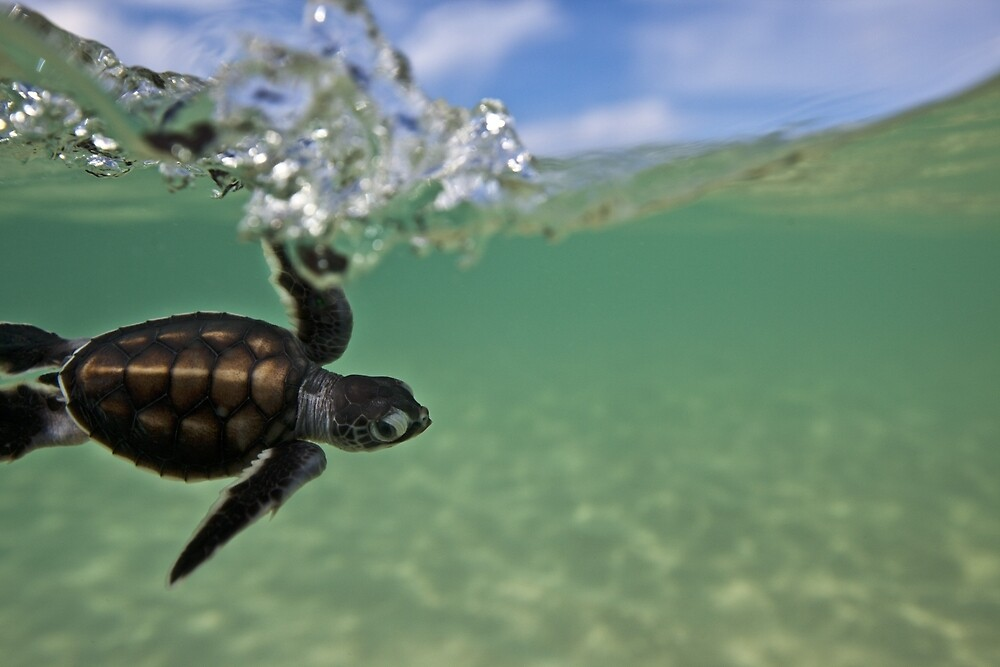 Baby surfing ninja turtle by David Wachenfeld