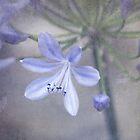 Agapanthus by cherryannette