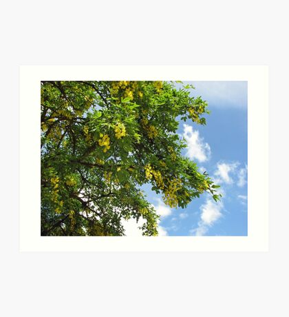 Laburnum against Blue Summer Sky Kunstdruck