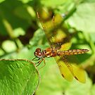Eastern Amberwing by William Brennan