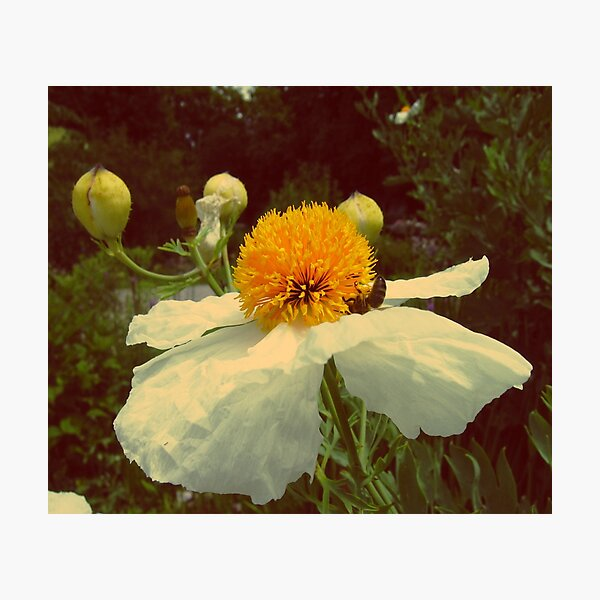 Secret Garden | White poppy Photographic Print