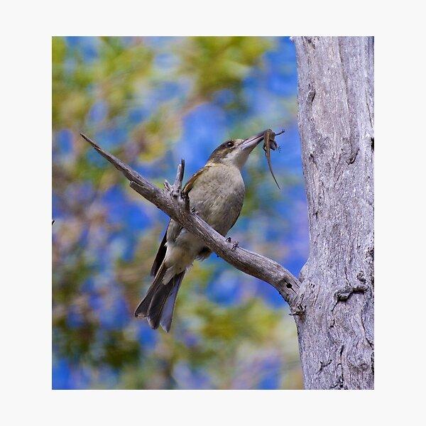 ARTAMIDAE ~ Grey Butcherbird 2 of 5 by David Irwin Photographic Print