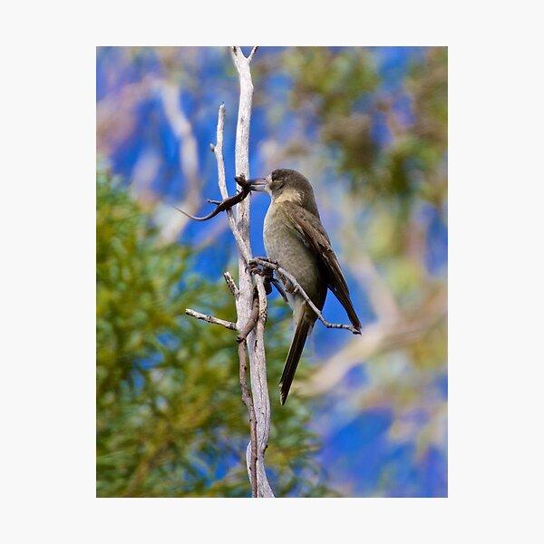 ARTAMIDAE ~ Grey Butcherbird 1 of 5 by David Irwin Photographic Print