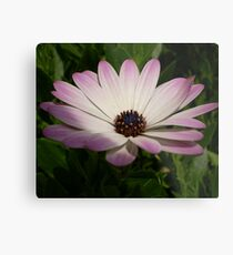 Side View of A Pink and White Osteospermum Metal Print