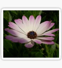 Side View of A Pink and White Osteospermum Sticker