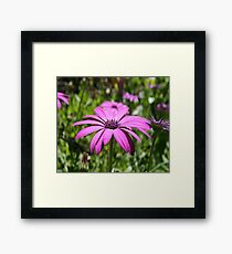 Side View Of A Purple Osteospermum With Garden Background Framed Print