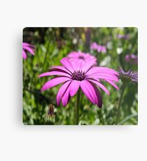 Side View Of A Purple Osteospermum With Garden Background Metal Print