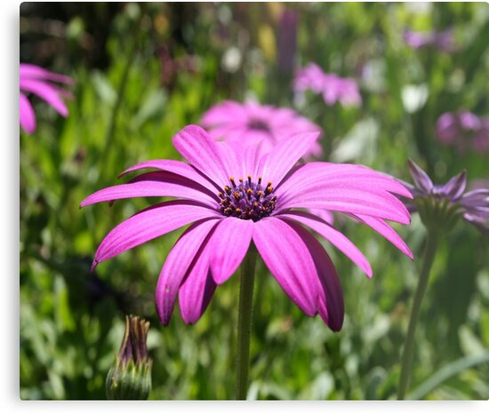 Side View Of A Purple Osteospermum With Garden Background by taiche