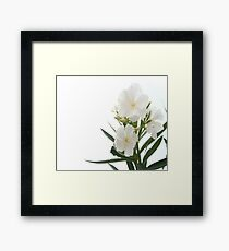 White Oleander Flowers Close Up Isolated On White Background  Framed Print