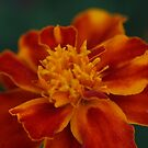 Marigold by richeriley