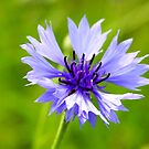 Cornflower in Green by Jo Nijenhuis