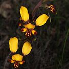 donkey orchids  by peterbeaton