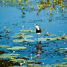 Jacana - Kakadu National Park, NT by Dilshara Hill
