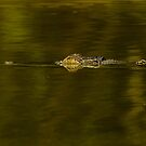 Salt Water Crocodile - Kakadu National Park, NT by Dilshara Hill