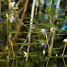 Lilies and Reflections by Dilshara Hill