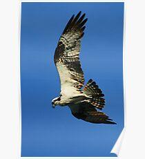 Diving Osprey Poster