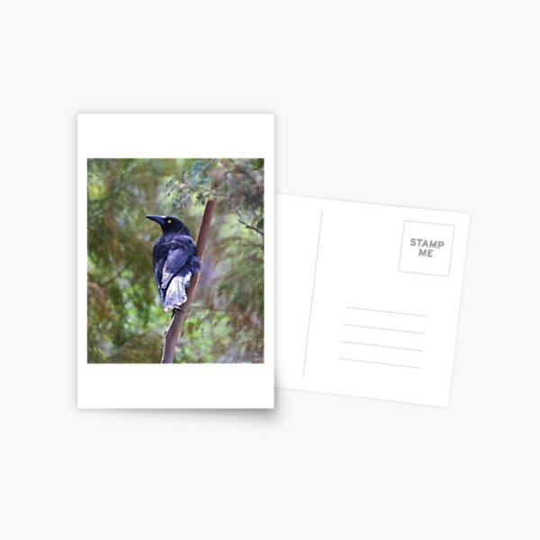 ARTAMIDAE ~ Grey Currawong B5QCAM62 by David Irwin Postcard