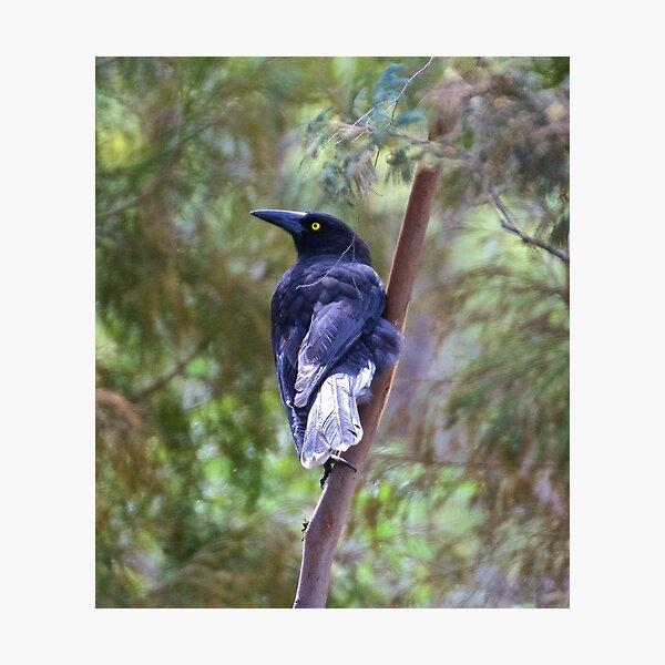 ARTAMIDAE ~ Grey Currawong by David Irwin Photographic Print
