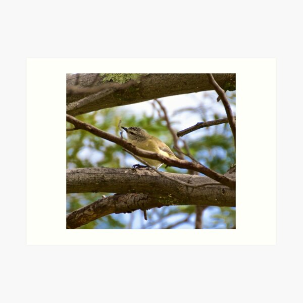 THORNBILL ~ Yellow-rumped Thornbill by David Irwin Art Print