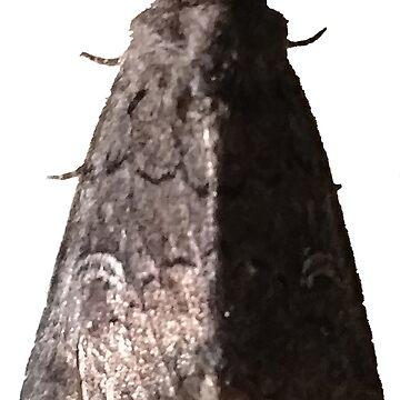Lacinipolia Stricta (half-lit) A by spookyluca
